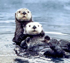 Sea_otter_pair2