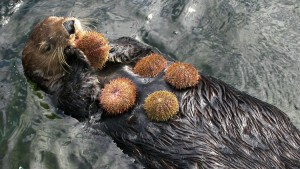 sea-otter-urchin-buffet