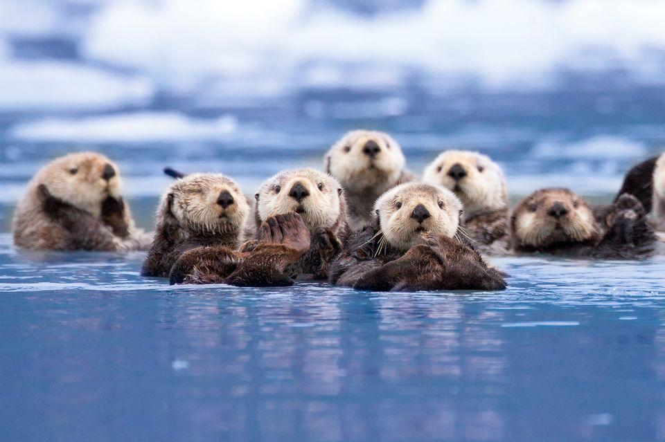 cute baby sea otters holding hands